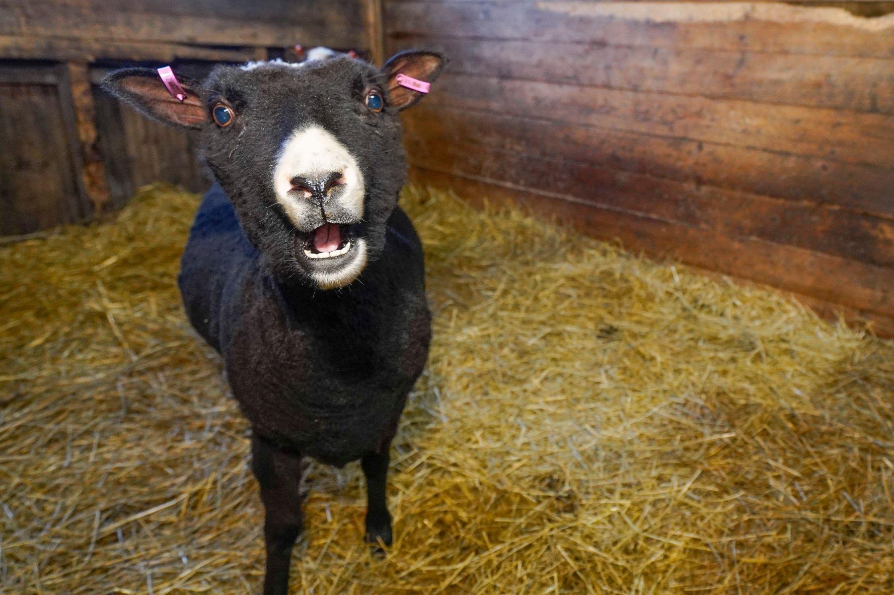 Lammas katsoo uteliaana suoraan kameraan